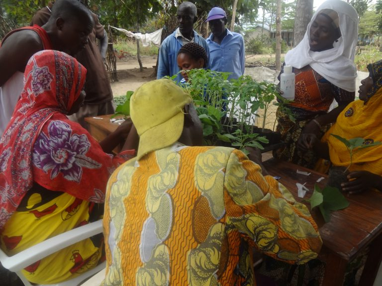 Introduction of Tomato Grafting Technology in Tanzania
